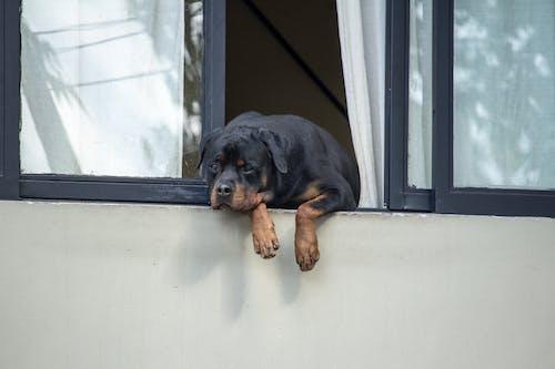 狗, 窗, 罗威 的 免费素材照片