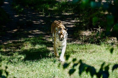 Fotobanka sbezplatnými fotkami na tému Afrika, tiger, zviera