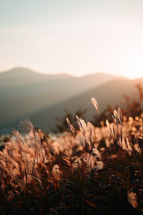 amanecer, campo, césped