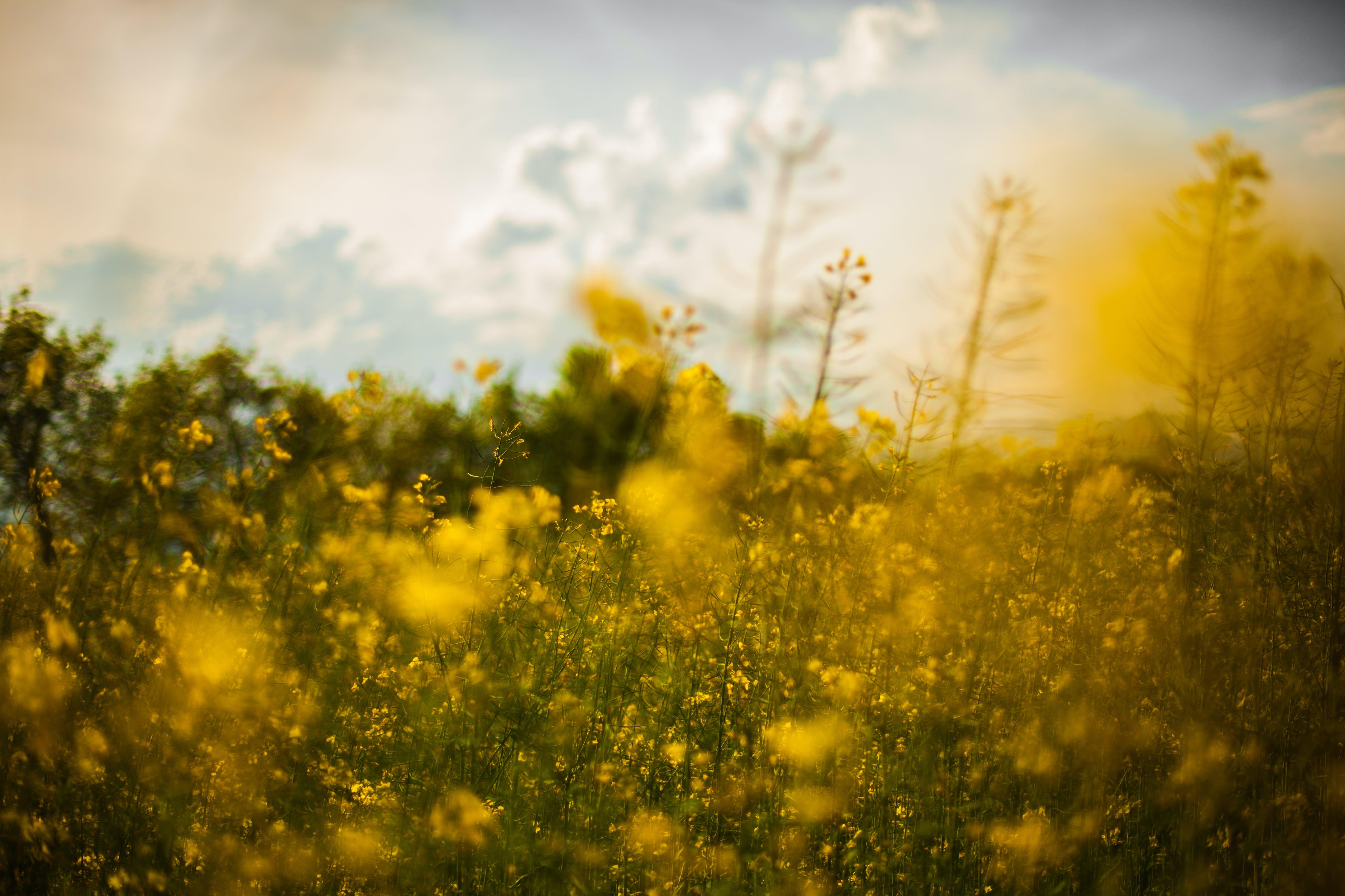 Yellow Rapeseed Flower Field