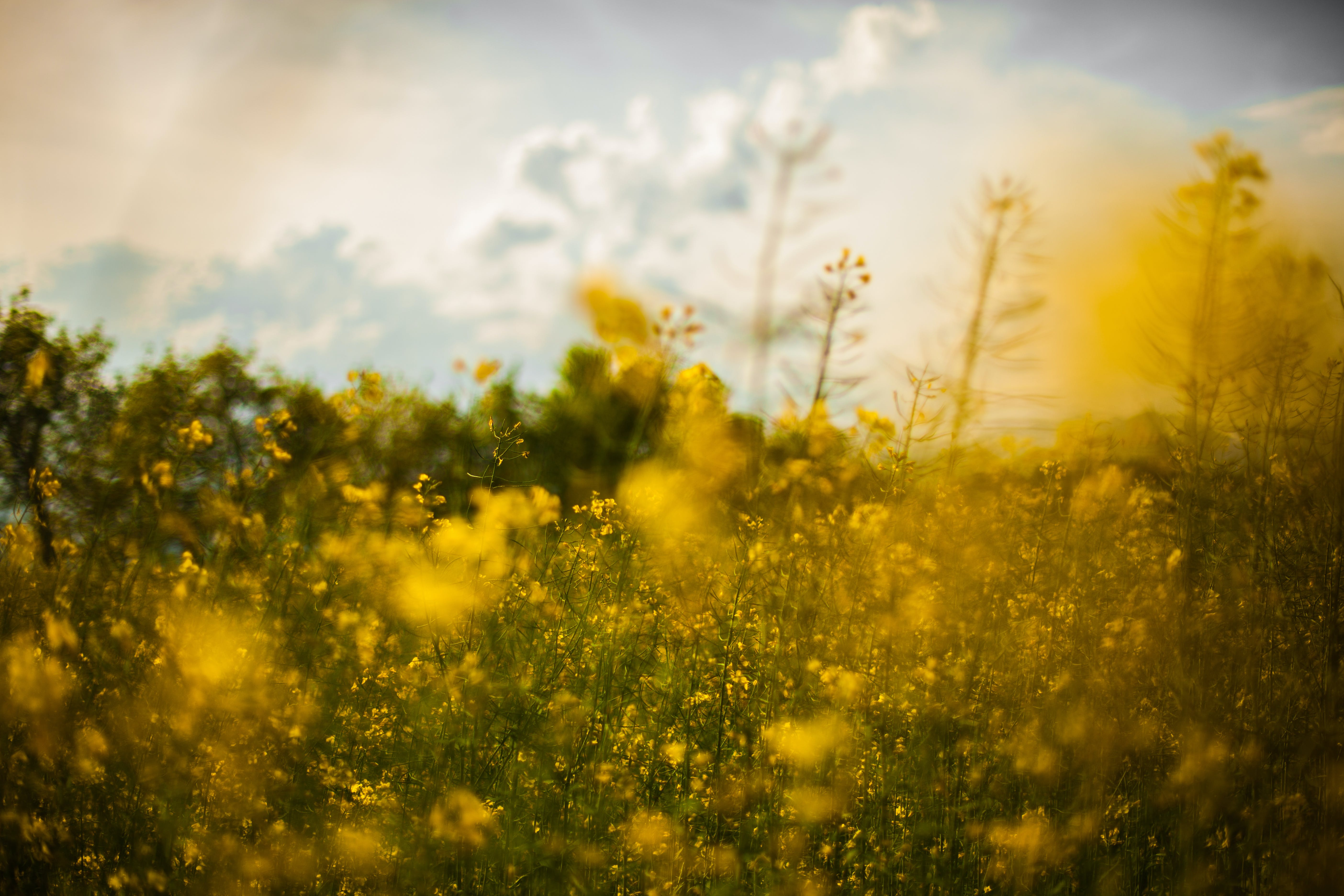 Yellow Rapeseed Flower Field