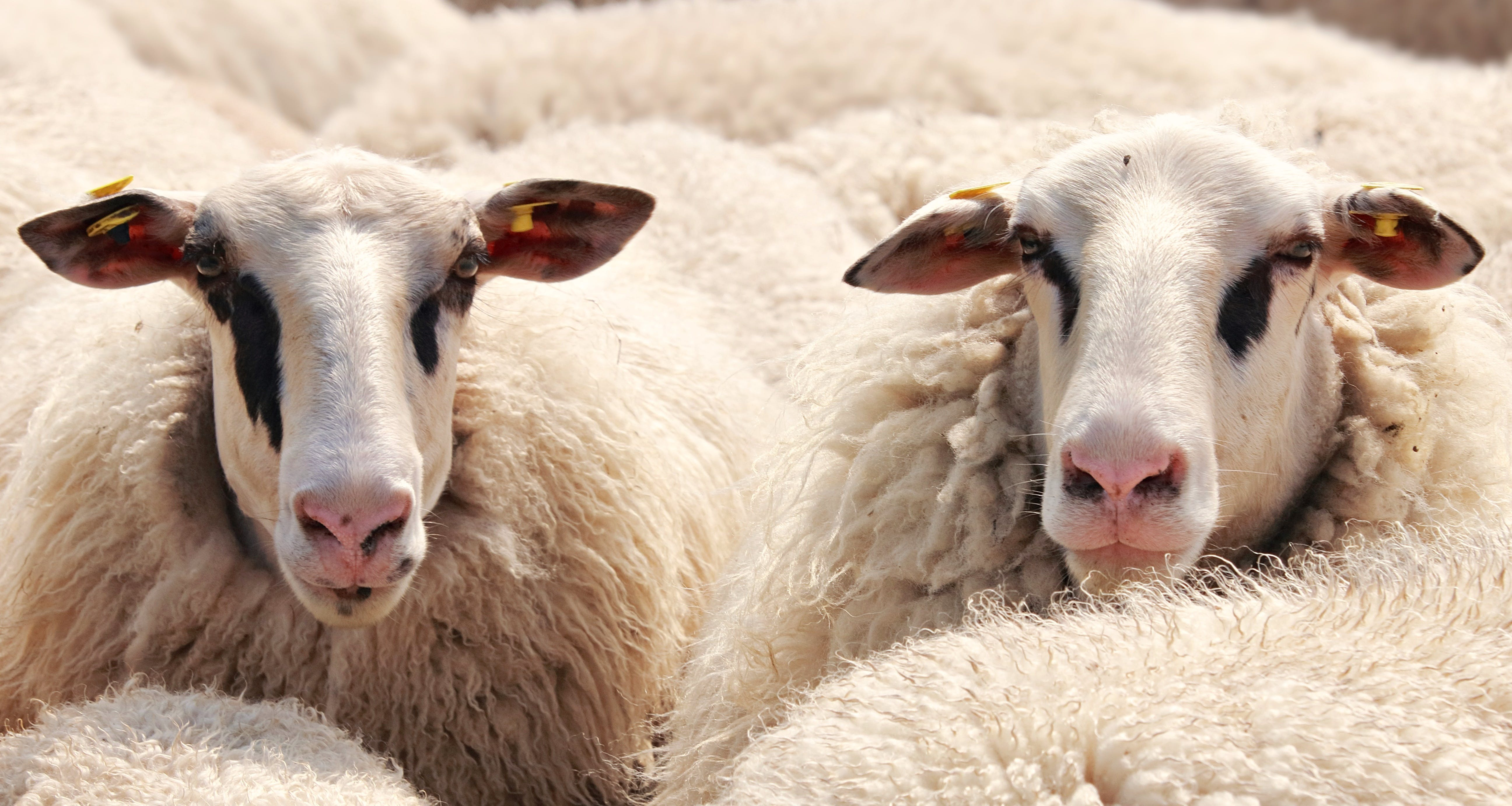 Close-up Photography of White Sheep