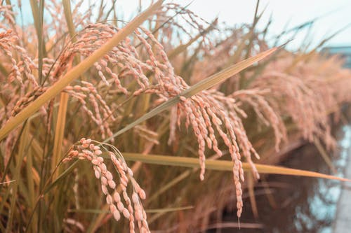alan, altın rengi Güneş, pirinç, pirinç tarlası içeren Ücretsiz stok fotoğraf