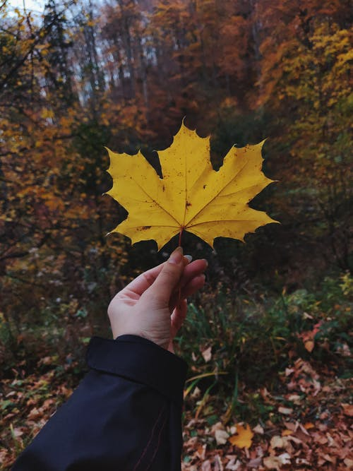 Person Holding Dried Maple Leaf