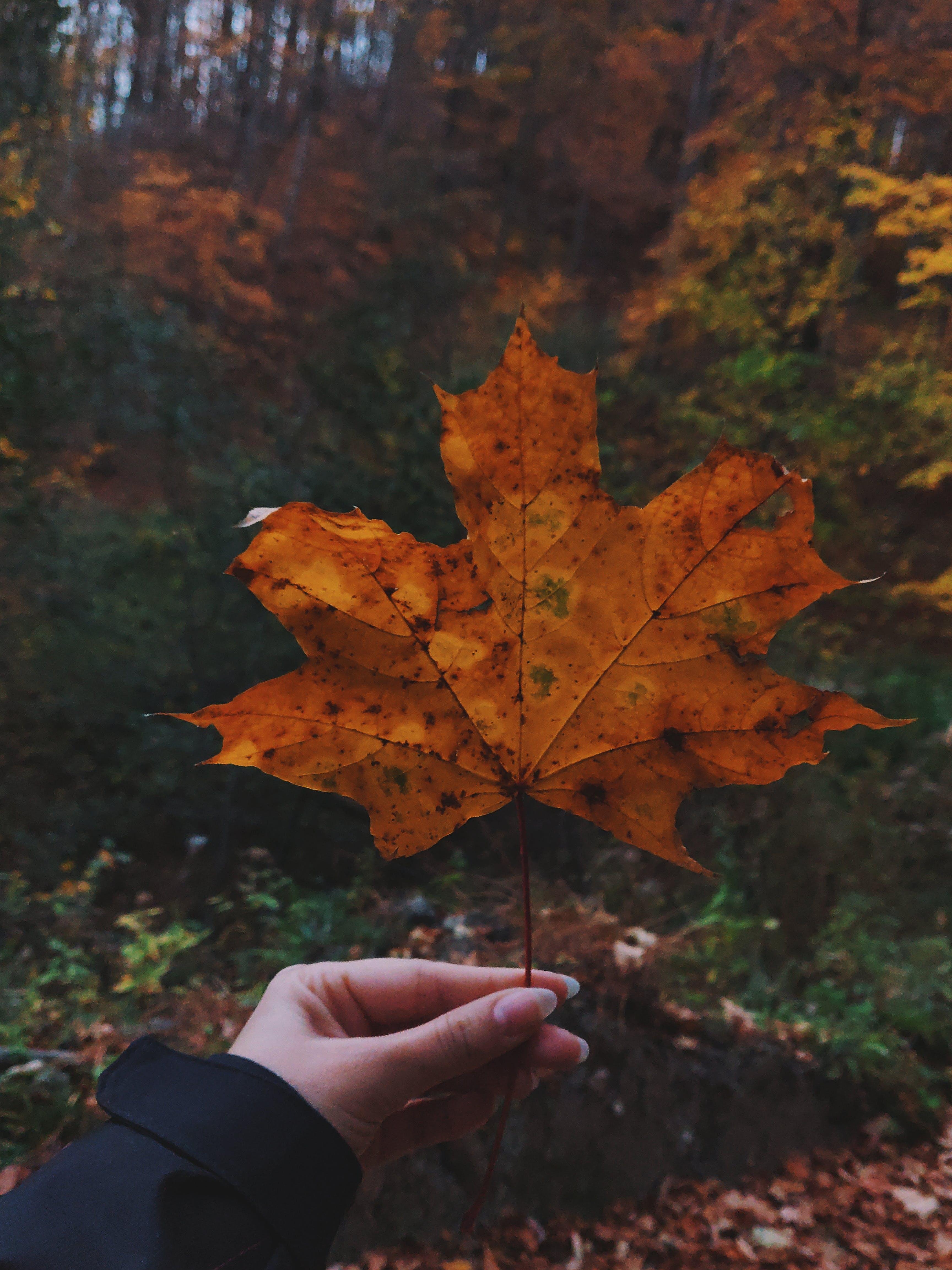 Person Holding Orange Maple Leaf during Dayitme
