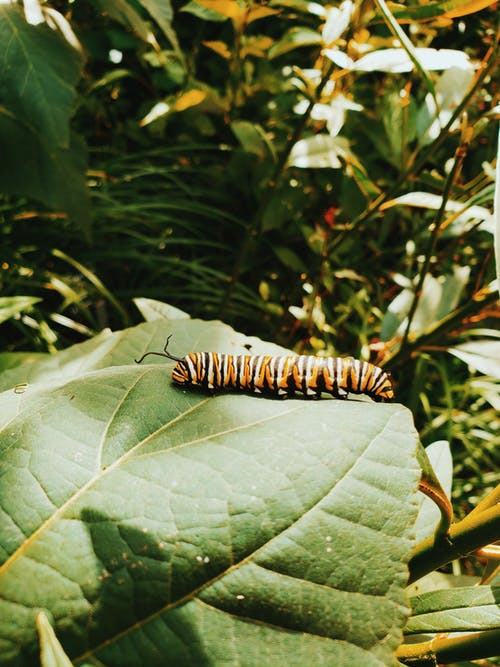 Close-Up Photography of Monarch Caterpillar on Leaf