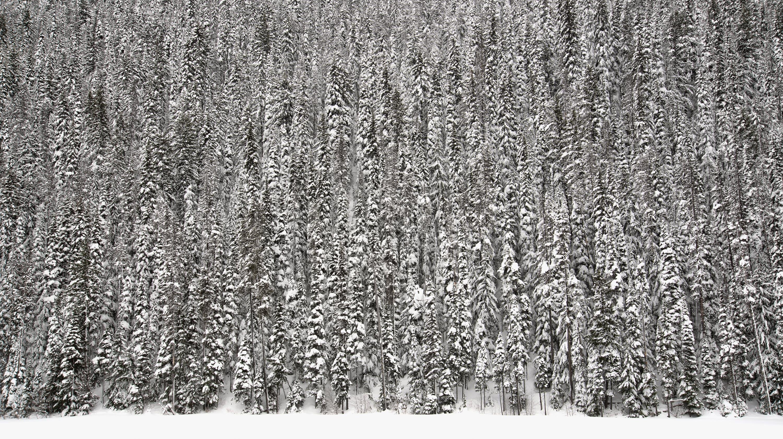 Základová fotografie zdarma na téma barvy, bílá, borovice, černobílá