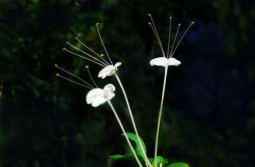 Kostnadsfri bild av svart bakgrund, vackra blommor, vit blomma
