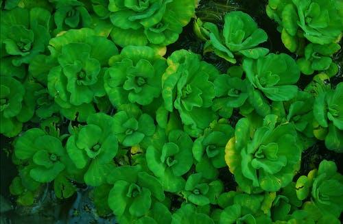Kostnadsfri bild av grönt löv, vatten blommor