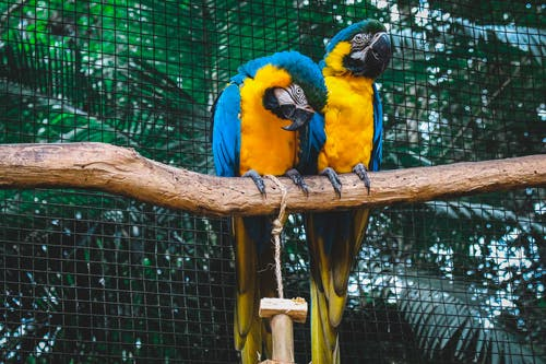 2 orange-and-blue macaws on branch in mesh cage