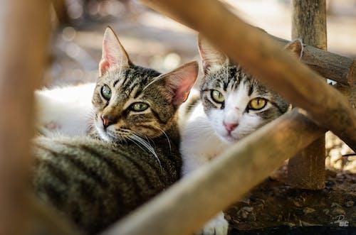 Foto stok gratis dii9c, foto hewan, fotografi alam, mata kucing