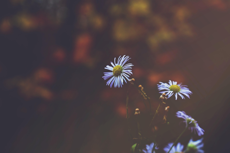 Kostenloses Stock Foto zu blume, blüte, blütenblätter, draußen