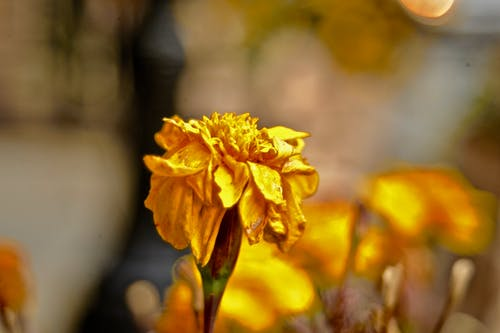 Free stock photo of yellow flower