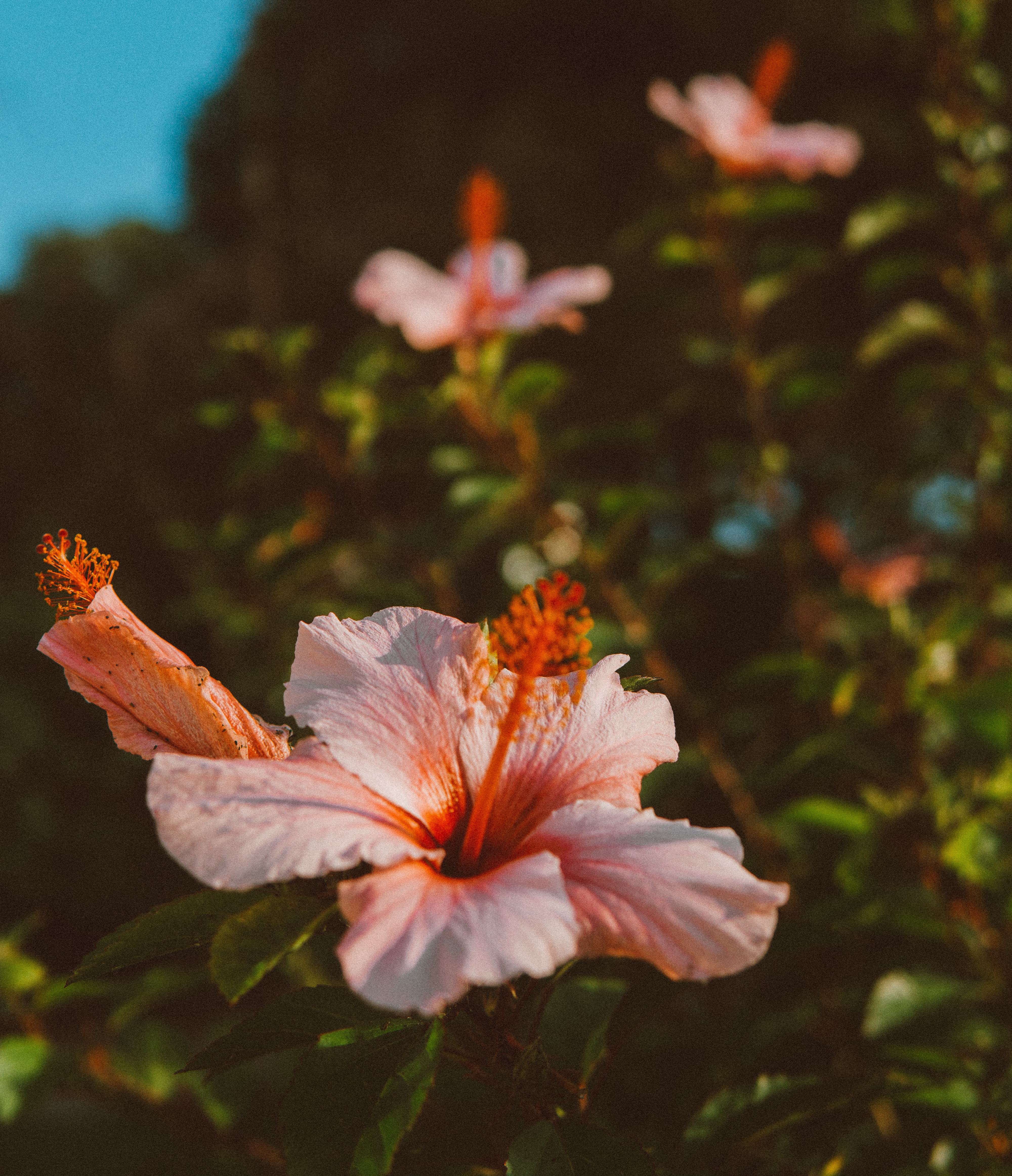 Selective Focus Photography Of Pink Hibiscus Flower Free Stock Photo