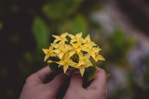 Бесплатное стоковое фото с глубина резкости, держать, желтые цветы, завод
