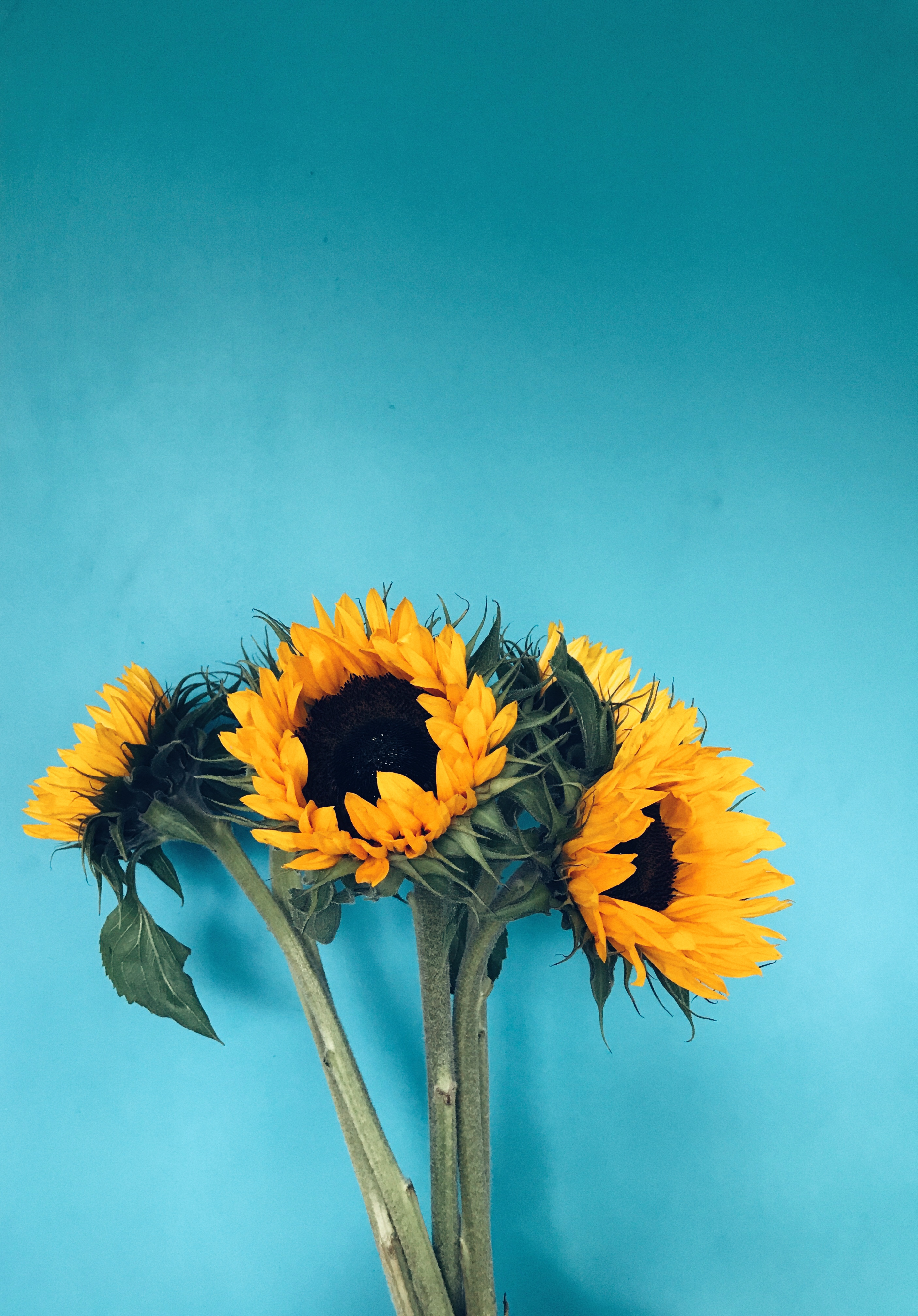 Four Sunflowers in Bloom on Teal Surface