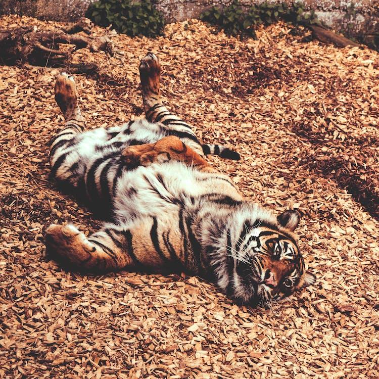 Tiger Lying on Ground