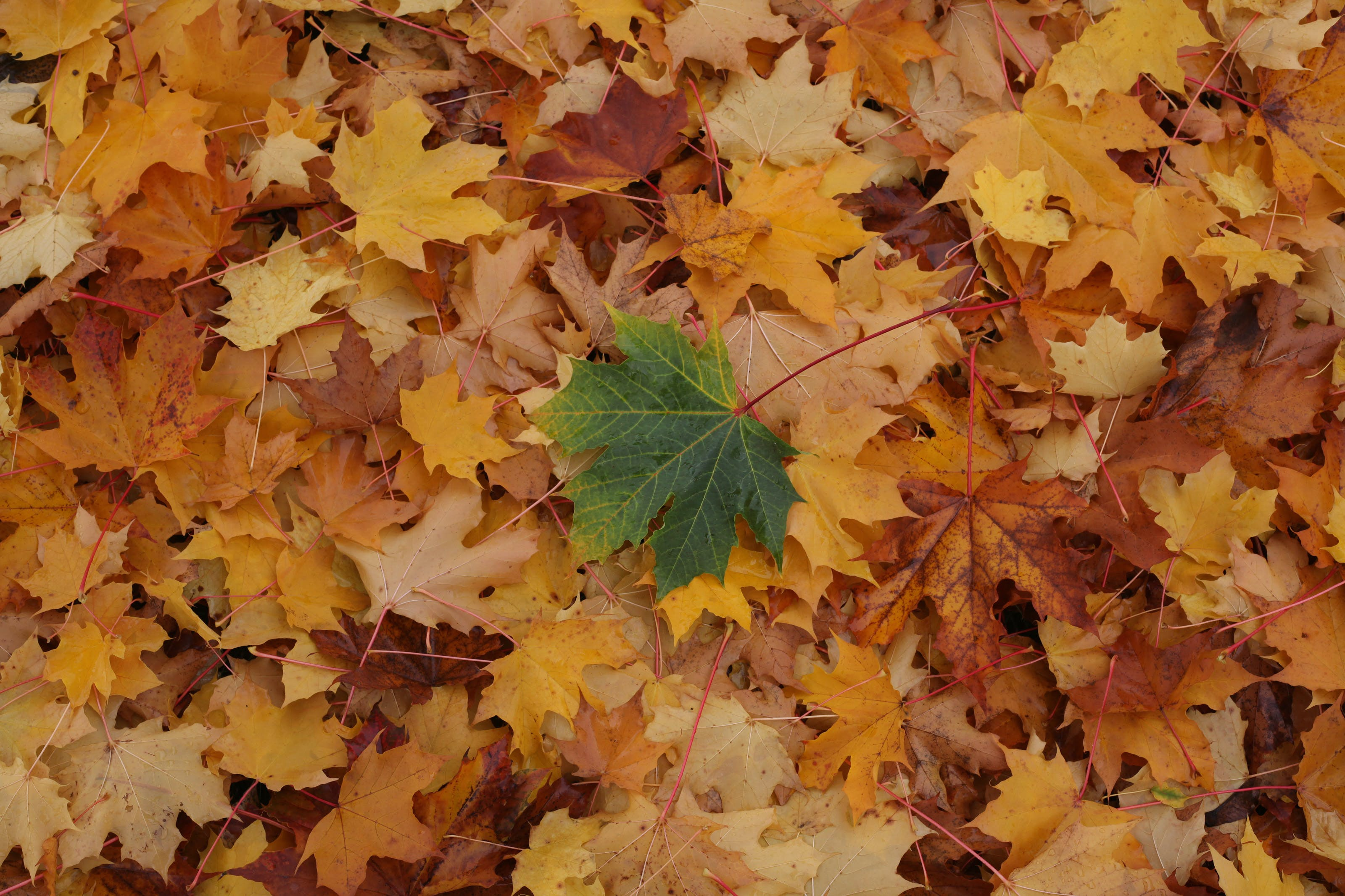 Free stock photo of fall leaves yellow green