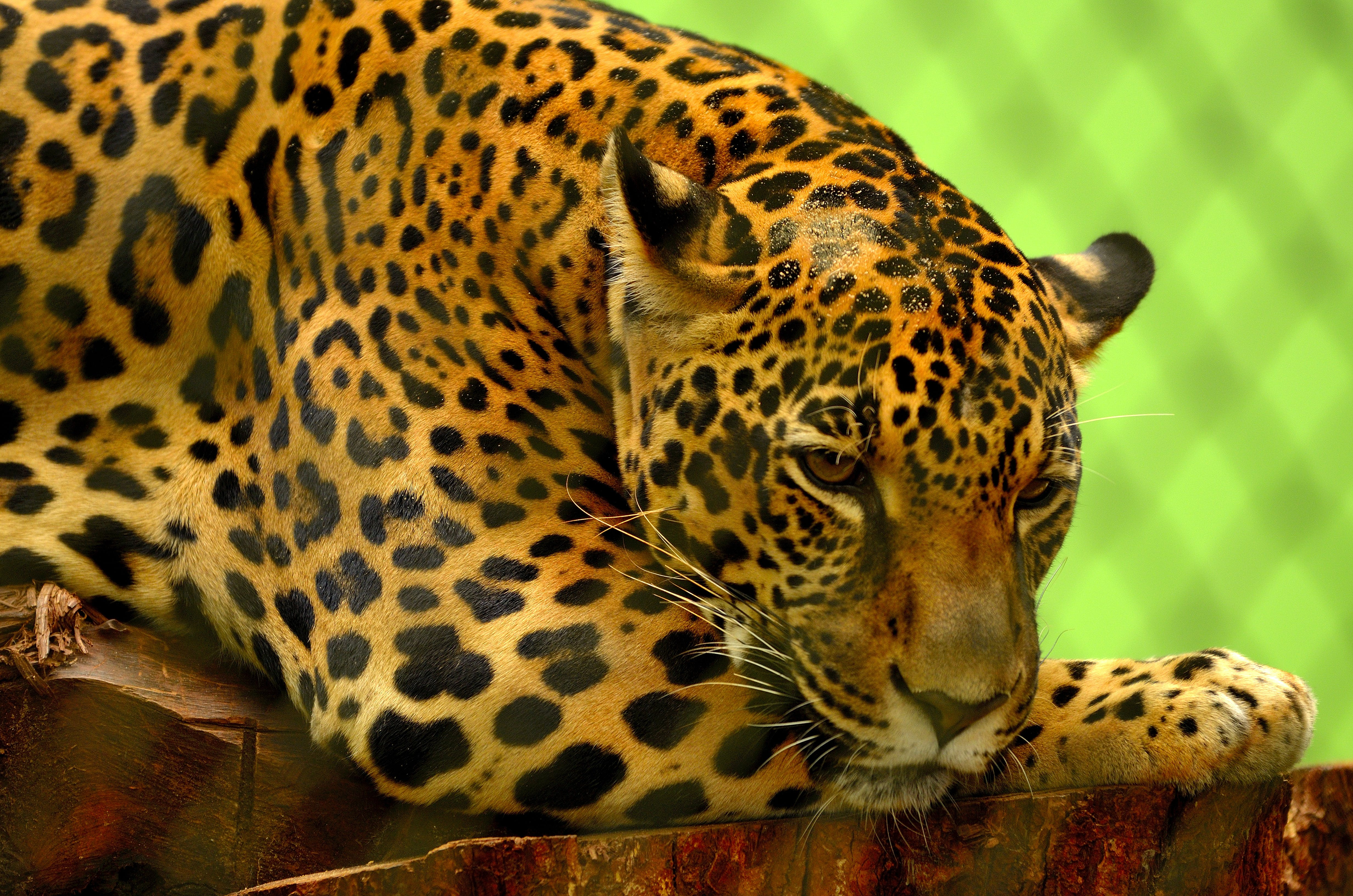 Leopard on Brown Log