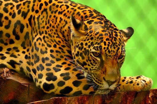 Leopard on Brown Log