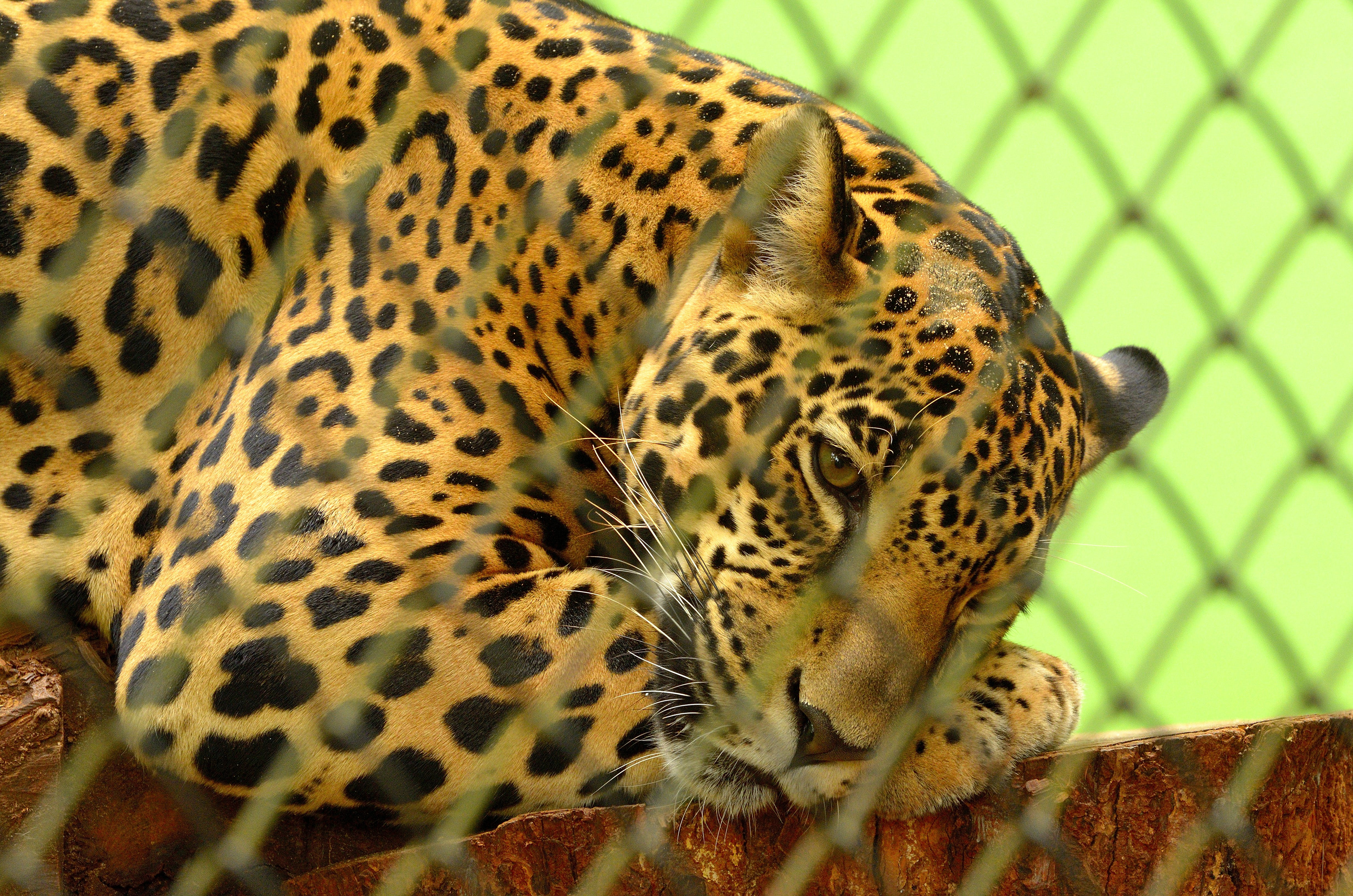 Leopard on Cage in Closeup Photography