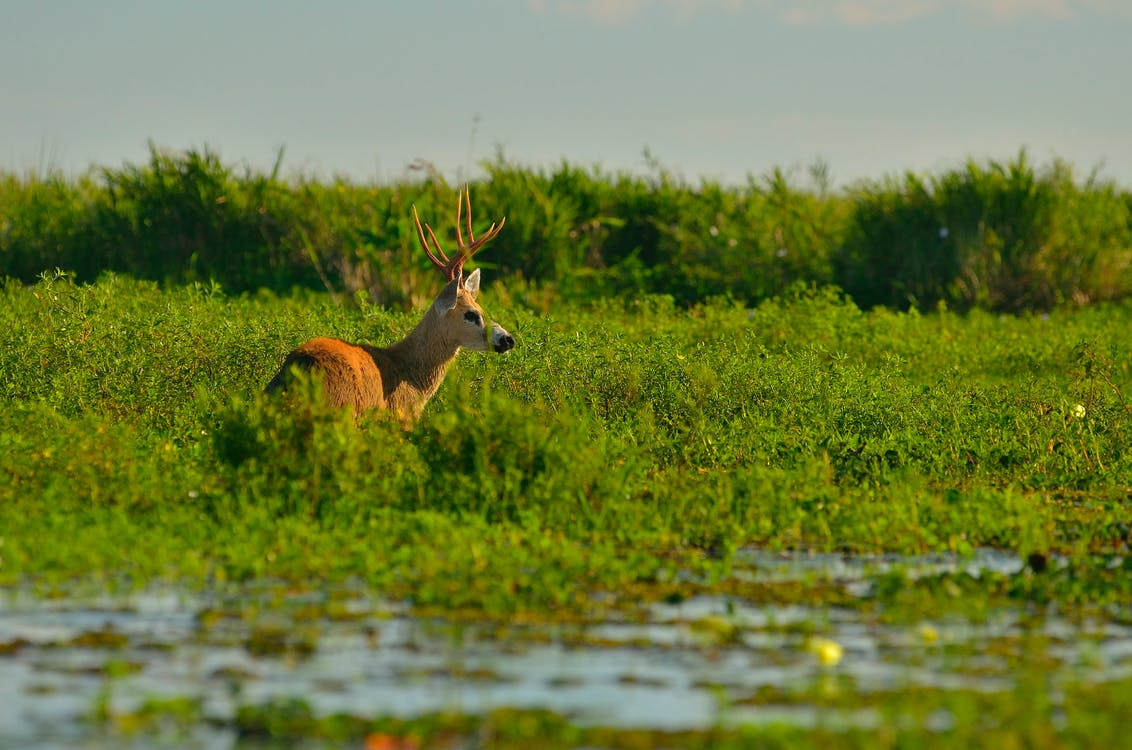 Brown Moose on Green Leafed Grass