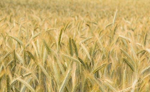 Foto stok gratis alam, bidang, gandum, musim panas