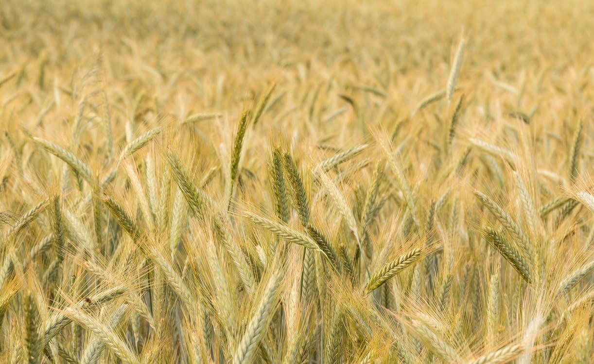 alam, bidang, gandum
