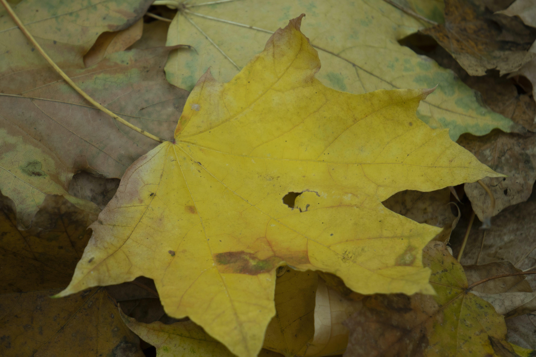 Free stock photo of autumn, autumn colours, autumn leaf, autumn leaves
