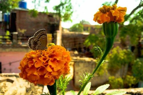 Darmowe zdjęcie z galerii z aksamitka, motyl, motyl na kwiatku