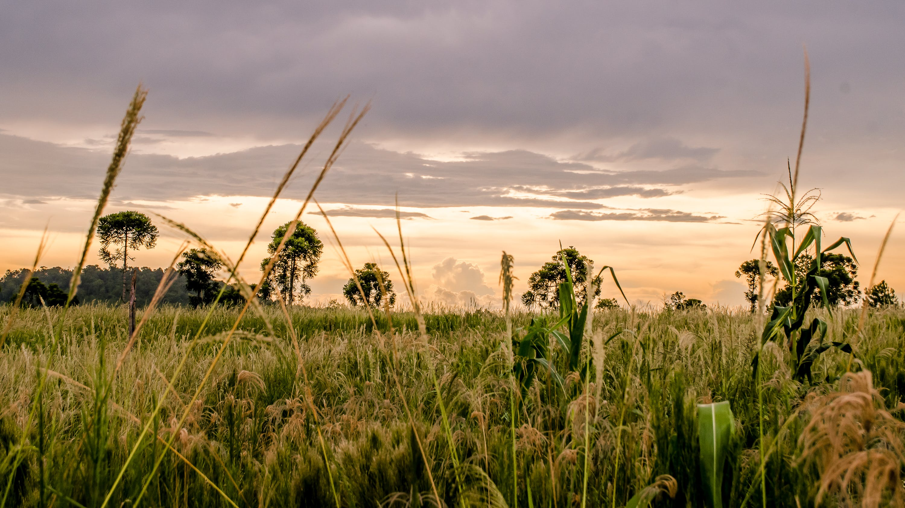 Wheat Fields during Golden Hour