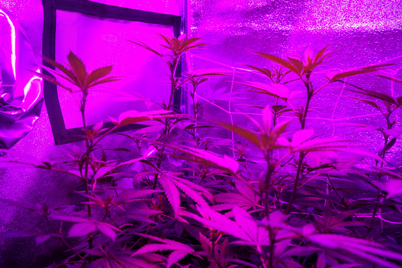 Free stock photo of cannabis, CBD, flowering
