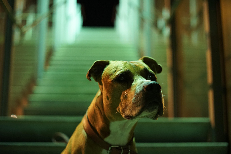 Close-up Photo of Brown Pitbull