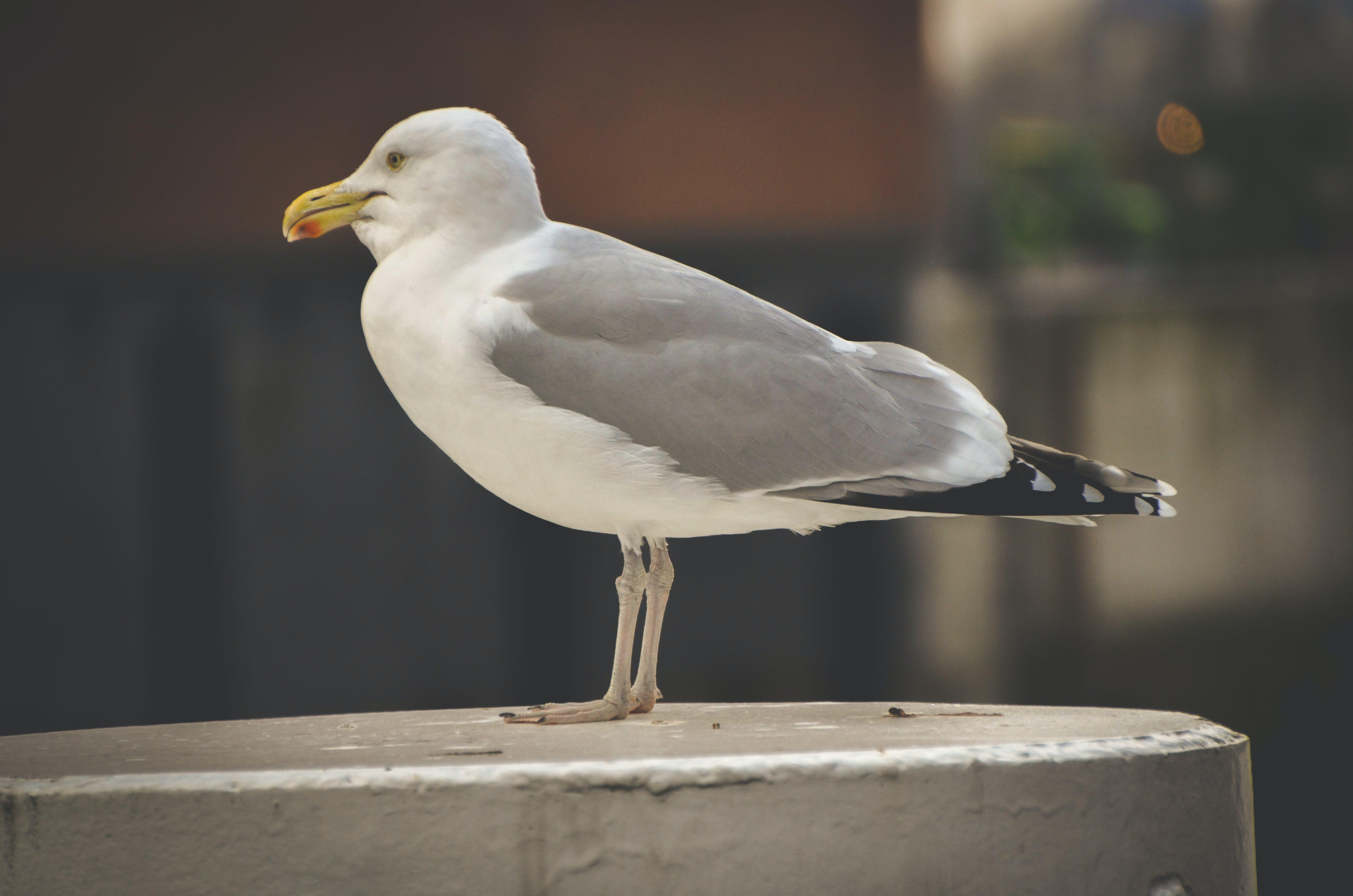 Kostenloses Stock Foto zu animal, gull