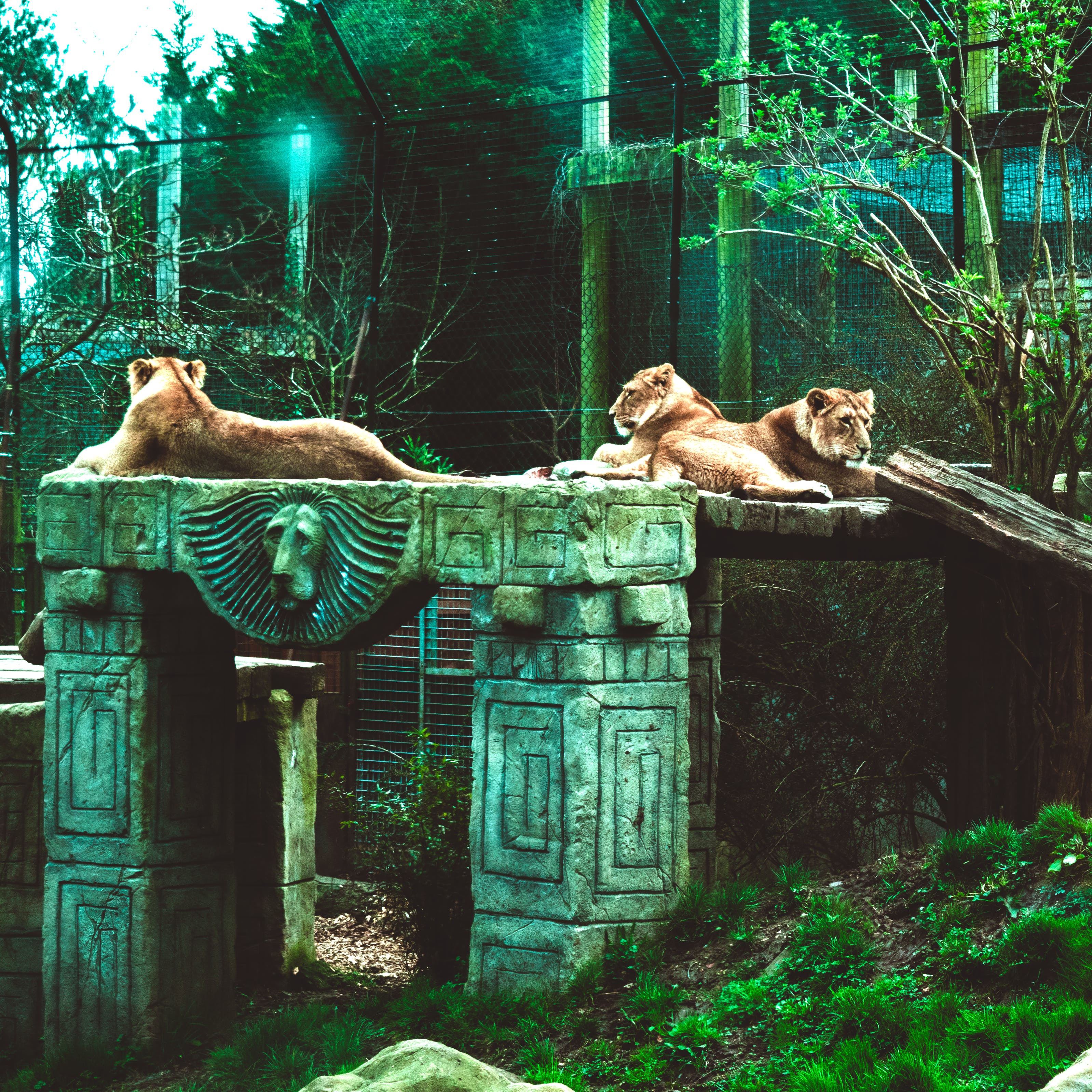 Free stock photo of big cats, cage, grass, lion