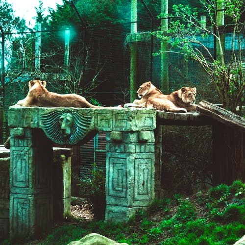 Free stock photo of grass, lion, lioness, lionesses
