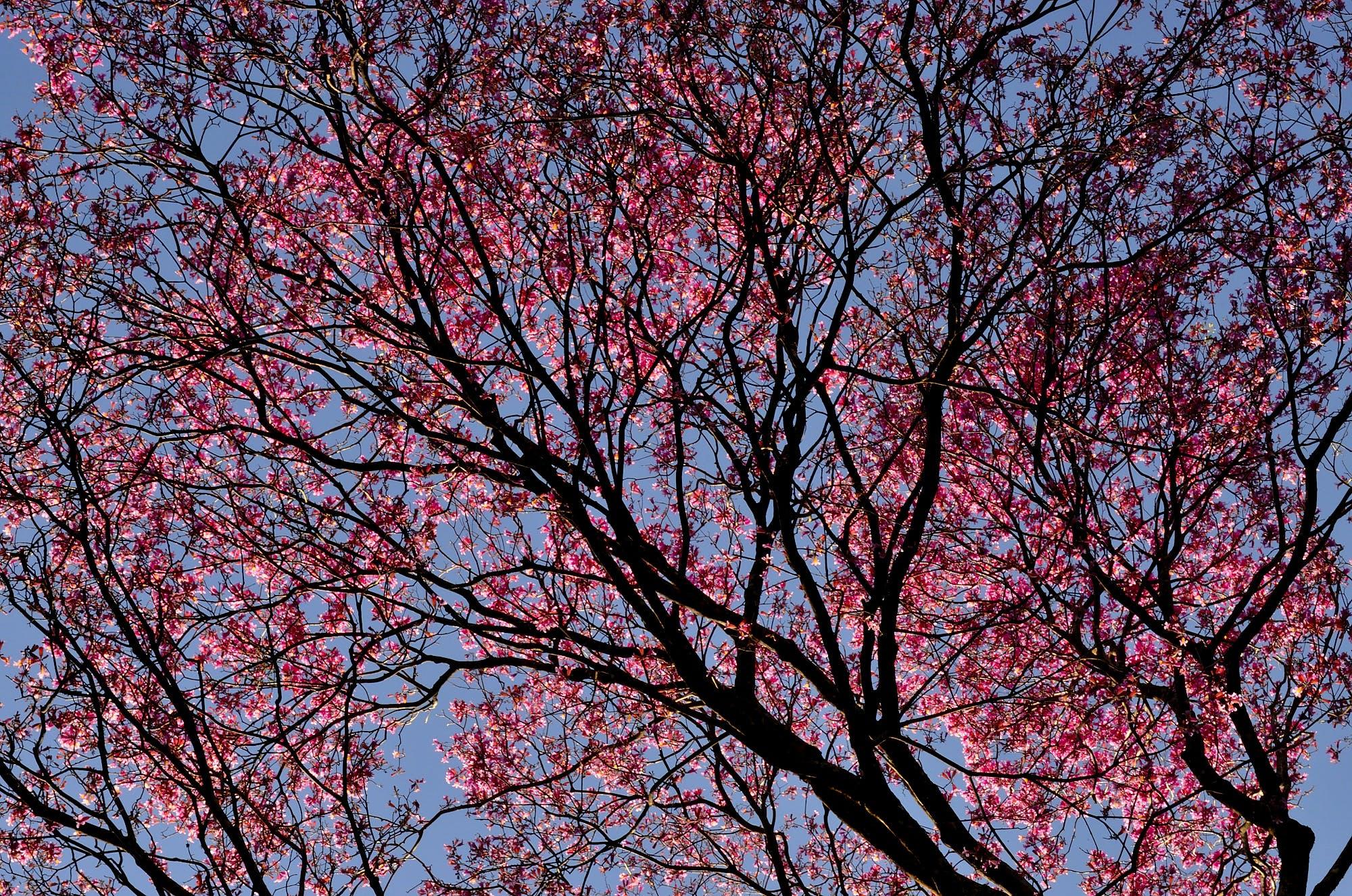 Sakura Tree Under Blue Sky during Daytime