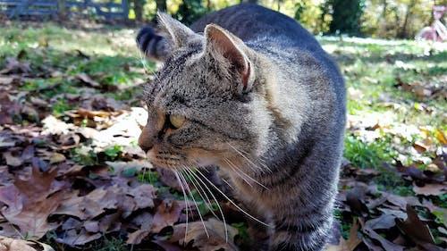 Ilmainen kuvapankkikuva tunnisteilla ruska, tiikeri-kissa, tiikerikissa