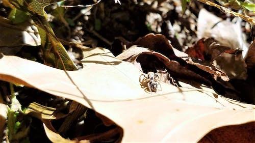 Ilmainen kuvapankkikuva tunnisteilla hämähäkki, kuivat lehdet, ruohonkorsi, susi hämähäkki