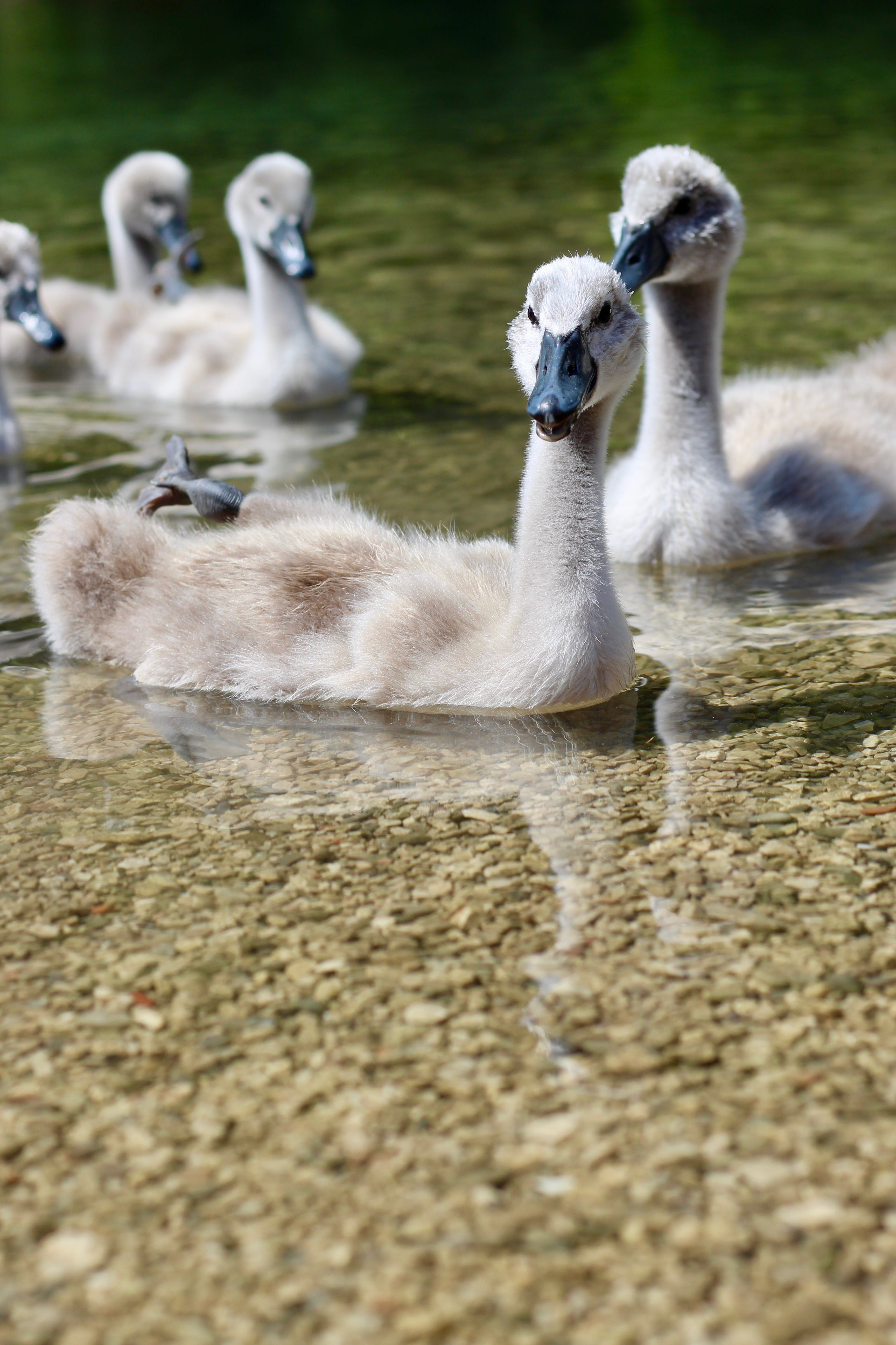Free stock photo of baby, swan, swans