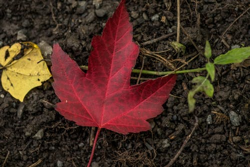 Free stock photo of forest, maple, maple leaf