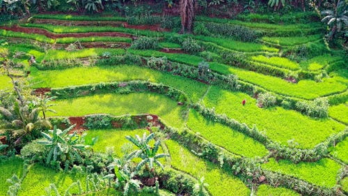 alan, arazi, bitki, çeltik içeren Ücretsiz stok fotoğraf