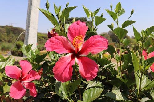 Free stock photo of china rose, Chinese hibiscus, Hawaiian hibiscus, Hibiscus rosa-sinensis