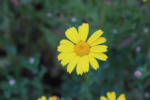 Free stock photo of Common sunflower, helianthus, helianthus annuus, sunflower