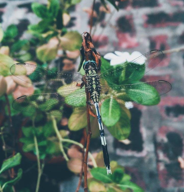 alas, insecto, libélula