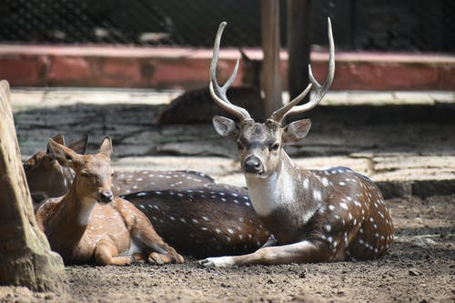 Three Brown Deers Laying Down