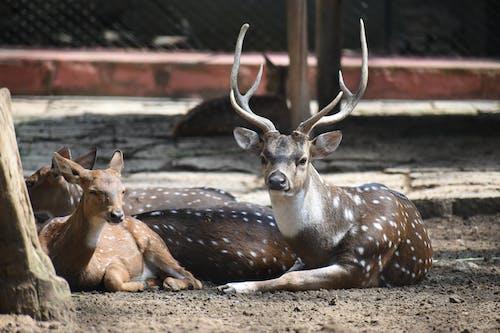 Foto d'estoc gratuïta de animal salvatge, animals, banyes, boc