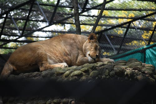 Photo of Lioness Lying Down