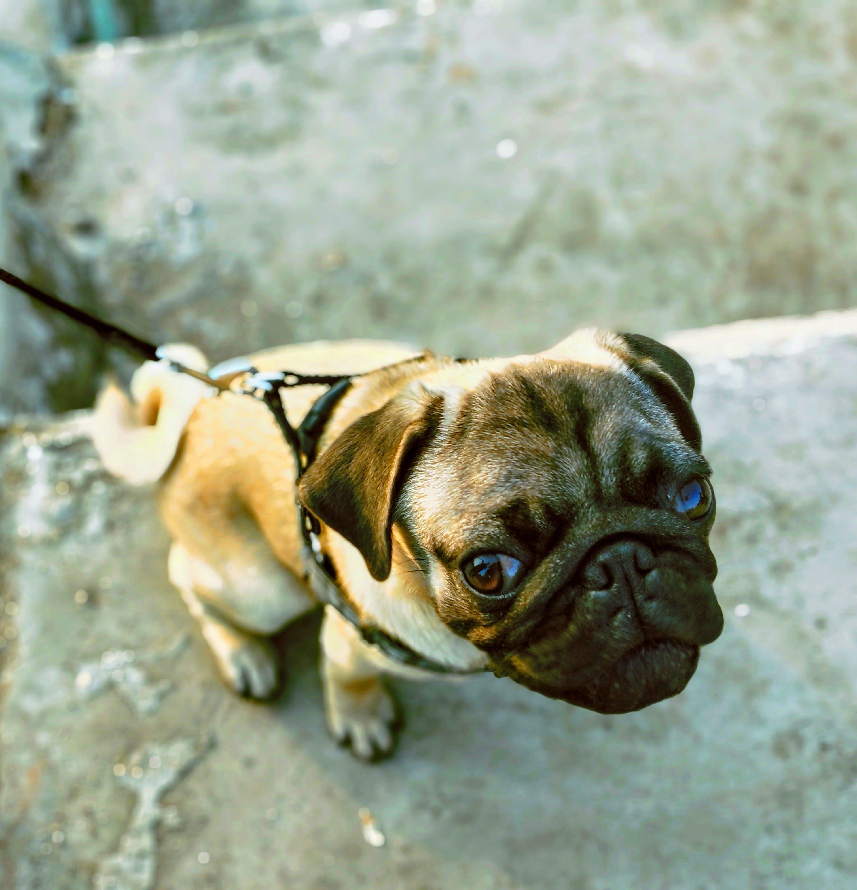 Pug With Leash