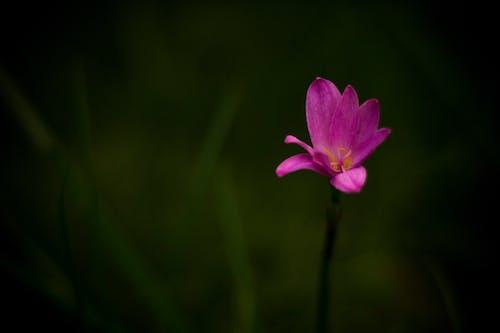 Gratis stockfoto met bloemknoppen, magenta
